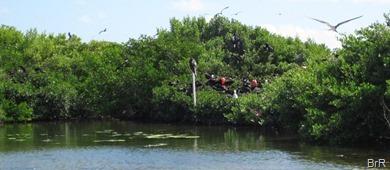 Barbuda_Fregattvögel_III