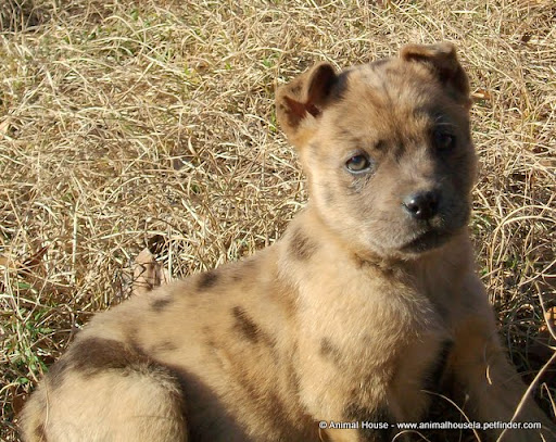 Catahoula Mix Shepherd Dog Breed http://picasaweb.google.com/lh/photo/PmzwkCXoR19WNhTKfhr1kA
