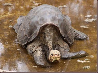Amazing Animals Pictures Pinta Island tortoise (8)