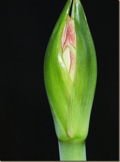 Amaryllis 12-19-2012 (1)