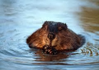 Amazing Pictures of Animals, Photo, Nature, Incredibel, Funny, Zoo, Beaver, Castor, Mammals,  Rodentia, Alex (1)