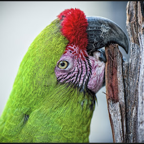 Parrot Head by Garry Dosa - Animals Birds ( bird, macro, winter, red, february, mexico, green, parrot, animal, eye, colours,  )