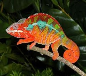 Amazing Pictures of Animals, photo, Nature, Exotic, Funny, Incredibel, Zoo, Panther chameleon, Furcifer pardalis, Reptilia, Alex (16)