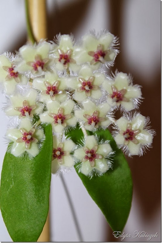 Hoya soidaoensis
