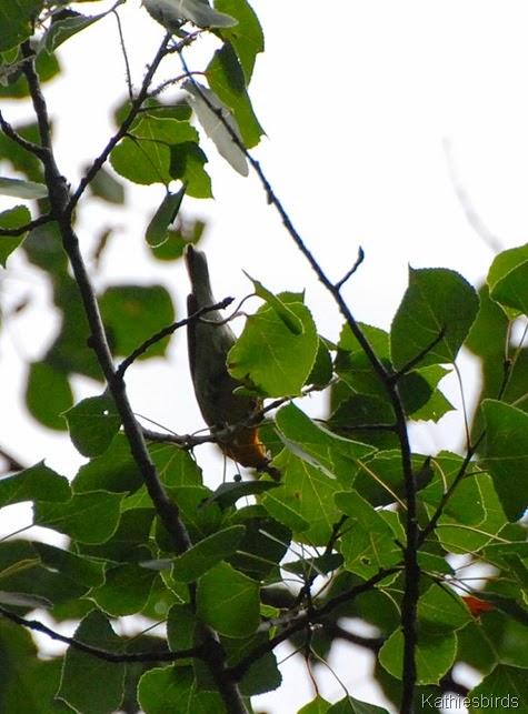 12. blackburnian warbler-kab