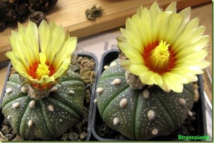 Astrophytum asterias fioritura
