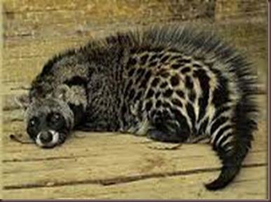 Amazing Pictures of Animals, photo, Nature exotic, funny, incredibel, Zoo, African civet, mammals, Alex (2)