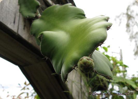 07-18-cactus-buds3