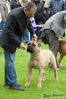 20100513-Bullmastiff-Clubmatch_31171.jpg
