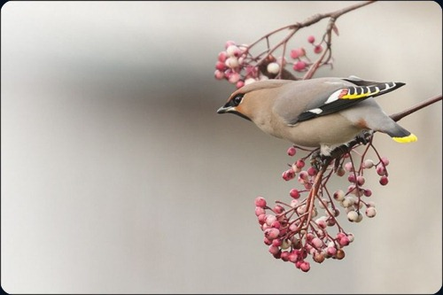 Amazing Beauty of Waxwing Birds10