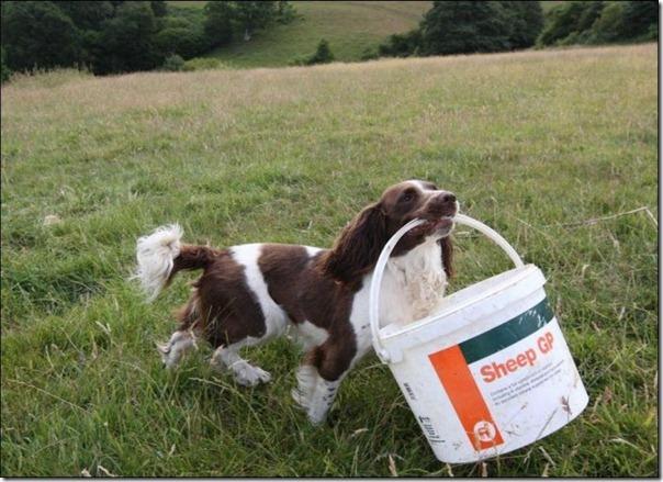 Cachorro alimentando um cordeiro (6)