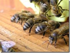 3,9,2011 včelí hoblování 379