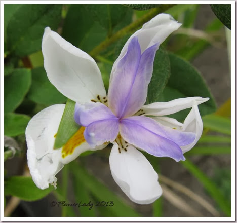 12-29-african-iris