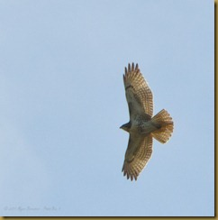 Red-tailed Hawk - Soar