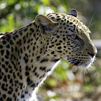 Leopardenportrait © Foto: Dana Allen | Wilderness Safaris