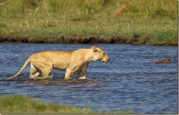 Le courage exeptionnel d'une lionne (1)