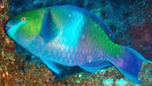Amazing Pictures of Animals, Photo, Nature, Incredibel, Funny, Zoo, Parrotfish, Scaridae, Fish, Alex (11)