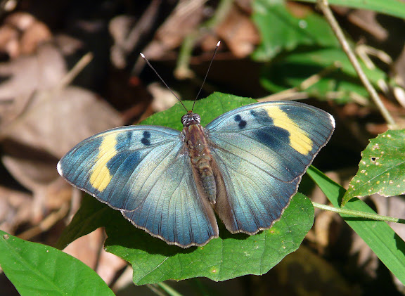 Euphaedra medon innotata HOLLAND, 1920, mâle. Bobiri Forest (Ghana), 15 décembre 2009. Photo : J. F. Christensen