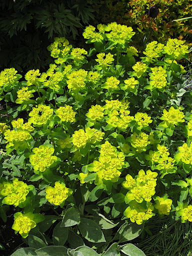 Euphorbia polychroma - I love the clear yellow and neat mounding habit of this perennial (at least in spring - it isn't quite at its best in summer).