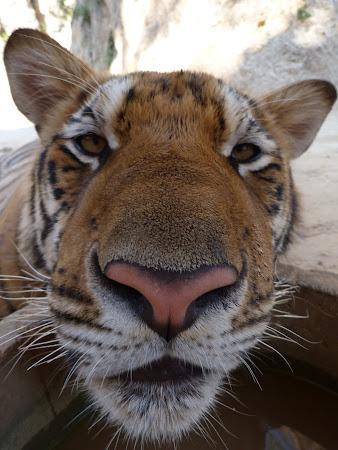 Templul tigrilor Thailanda