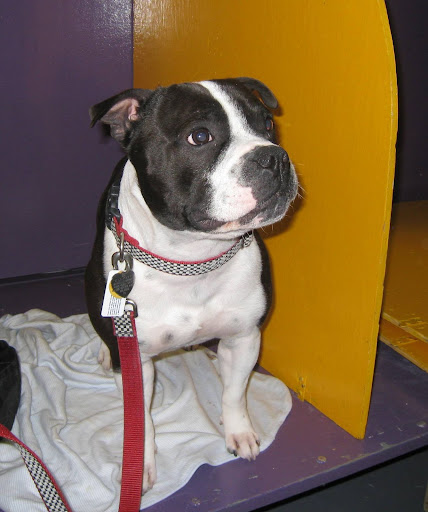 Elliot (a Staffordshire Bull Terrier) is a trained seizure alert dog!