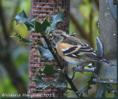 Brambling-1
