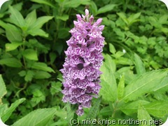 a hudeshope orchid
