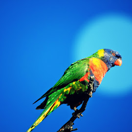 Rainbow Lorikeet by Mic Larkins - Digital Art Animals ( colour, bird, rainbow lorikeet, tree, digital art )