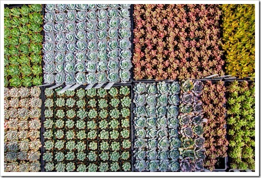 120928_SucculentGardens_echeveria-tr[2]