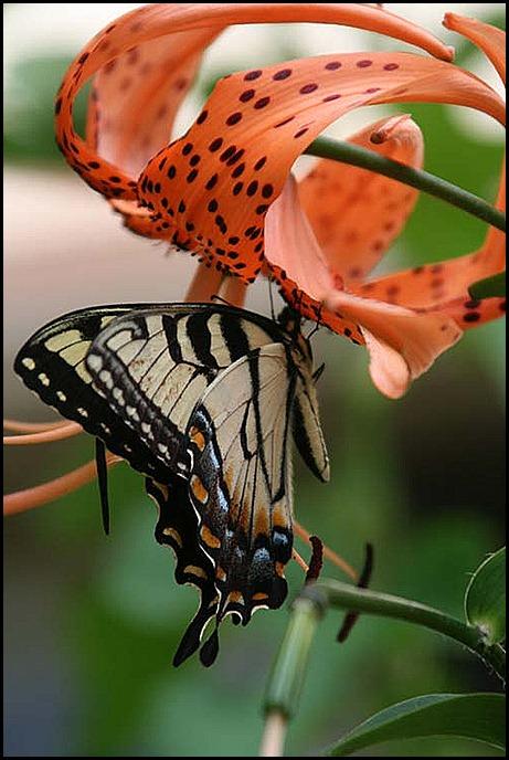 ButterflyLily1 2010