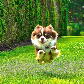 Super Bruno!!! by Bruno Duke - Animals - Dogs Running