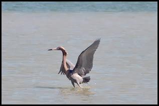 02g - Reddish Egret