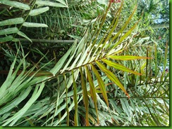 Alpinia folha palmeira (2)