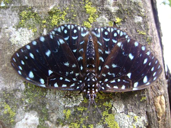 Hamadryas laodamia laodamia (CRAMER, 1777), mâle. Pitangui (Minas Gerais, Brésil), 21 octobre 2009. Photo : Nicodemos Rosa