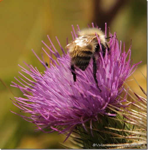 common carder bee 1