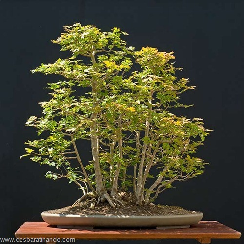 bonsais arvores em miniatura desbaratinando (70)