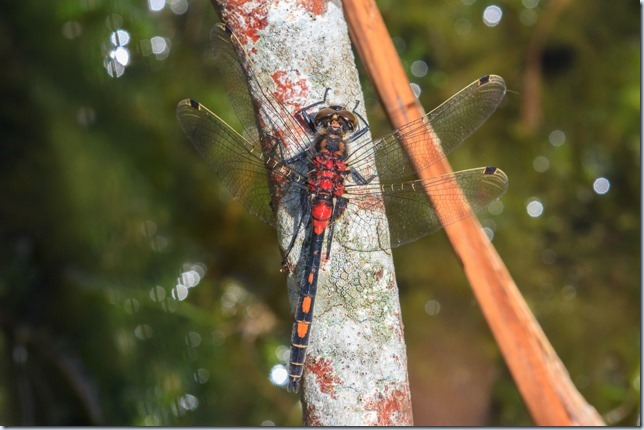 White-faced_Darter-4