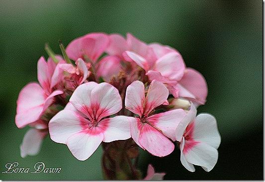 Appleblossom_Pelargonium
