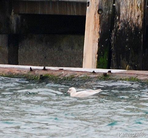 10. iceland gull-kab