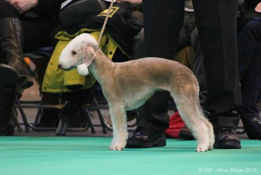 Bedlington Terrier Crufts 2013 Crufts 2013-3690 1500x1000