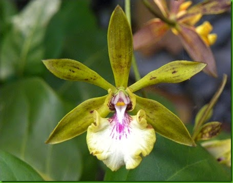 encyclia_gracilis_flower_1