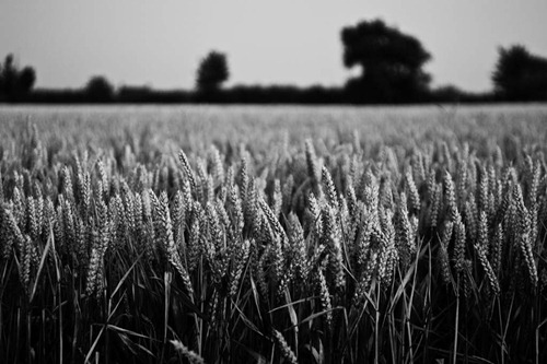 The-Wheat-Field