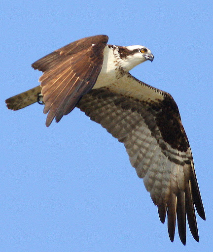 8-16-09, Minor Clark Fish Hatchery, juvenile Osprey
