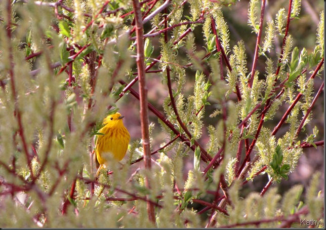 Yellow Warbler in the willows
