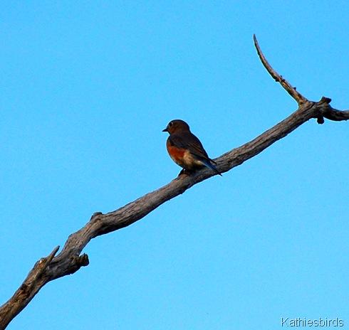 1. bog bluebird-kab