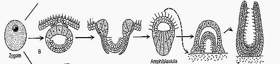 Amphiblastula-larva-sponge-reproduction
