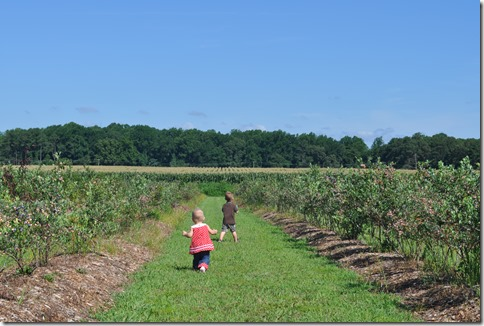 College Run Farms, blueberry picking, blueberry farm, blueberry patch