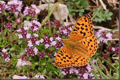 High Brown Fritillary