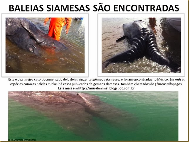 BALEIAS SIAMESAS SÃO ENCONTRADAS
