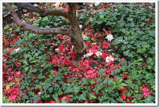 120317_Capitol_Park_Camellia-japonica_05